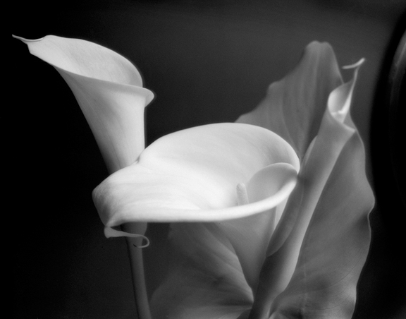Maggie Weston's Callas